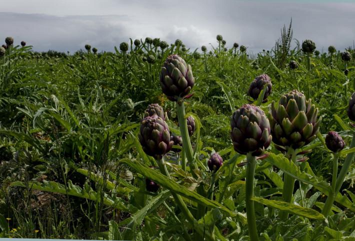artichokefield